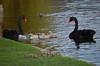 Black Swan Family 2