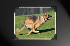 Dog Day Afternoon (Starkrusher) Tags: arizona surprise germanshepherd dogdayafternoon happytrials