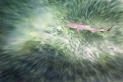 """Fish are Friends?... Not Food ?"" (helmet13) Tags: ocean fish nature shark raw escape wildlife tropical seychelles aoi marineanimals 200faves peaceaward d700 heartaward negaprionacutidens sicklefinlemonshark hunterandhunted world100f platinumpeaceaward bestcapturesaoi elitegalleryaoi"