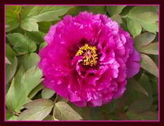 Frühling in pink ... 2014 (Kindergartenkinder) Tags: essen blumen frühling 2014 paeonia grugapark congzhongxiao