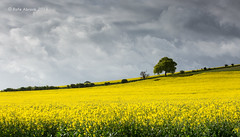 Springtime (Rafe Abrook Photography) Tags: trees tree yellow clouds spring chilterns may rape fields hertfordshire springtime herts offley lilley lilleybottom breachwoodgreen breachwood