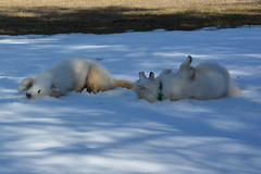 """Chase & Jag Imitating Each Other On A SNOW ROLL  25 • <a style=""""font-size:0.8em;"""" href=""""http://www.flickr.com/photos/96196263@N07/14215445884/"""" target=""""_blank"""">View on Flickr</a>"""