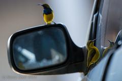 sunbird-5461 (Henry.Cook) Tags: building cute bird nest olive australia queensland honeyeater cairns build backed nesting sunbird nectariniajugularis