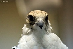 Saker Falcon (face) (zeesstof) Tags: travel tourism birds uae abudhabi unitedarabemirates falcons sakerfalcon birdhospital zeesstof abudhabifalconhospital