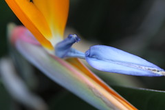 Bird of Paradise Detail (Life_After_Death - Shannon Day) Tags: life flowers blue flower color detail bird art yellow canon garden botanical photography eos death petals paradise day gardening shannon tropical after dslr botany canondslr canoneos lifeafterdeath 50d shannonday canoneos50d canon50d canon50ddslr canon50deos canoneos50ddslr canoneod50ddslr canondsler lifeafterdeathstudios lifeafterdeathphotography shannondayphotography shannondaylifeafterdeath