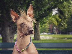 Peruvian Inca Orchid (@keverhart1) Tags: portrait dog orchid inca photo kevin canine mohawk hairless crested peruvian everhart kje