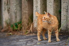 . (rampx) Tags: japan cat temple ginger hiroshima neko 猫 ねこ straycat 広島 tomonoura 鞆の浦