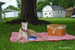 An Afternoon Picnic (houndstooth4) Tags: dog greyhound bunny picnic day169 dogchal 3652014 365the2014edition 18062014