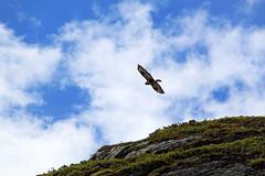 IMG_8596 Fjellvk. Buzzard. (JarleB) Tags: mountain bird buzzard haukeli haukelifjell fjellvk