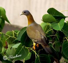 Dove ... high above (NIRA BANERJEE) Tags: morning india black bird nature birds asian asia singing song dove indian kolkata bengal calcutta tweet aviery