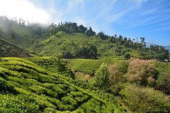 India - Kerala - Munnar - Tea Plantation - 87 (asienman) Tags: india mountains kerala hills teafactory teaplantation munnar teapicker asienmanphotography teaplantagens