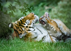 Milla-and-cub-play-fight-Kenneth-Dear (Marwell Wildlife) Tags: marwell peoples choice 2016 photographer year wildlife vote