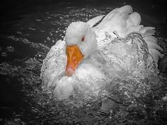 Portrait of a goose (ParadoX_Design) Tags: goose water enjoy bird animal nature beak feathers orange white splash drops droplet