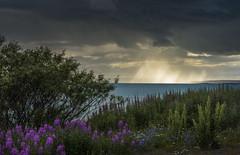 Varanger - D8E_2625 (Viggo Johansen) Tags: varanger varangerfjord fjord finnmark norway flowers sea sky sun clouds rain tree