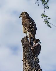 African Hawk Eagles (dunderdan77) Tags: skukuza wildlife southafrica krugernationalpark eagle nikon tamron nature birdofprey closeup beak