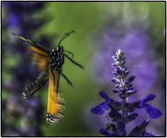 Monarch_SAF4350-2 (sara97) Tags: danausplexippus butterfly copyright2016saraannefinke insect missouri monarch monarchbutterfly nature outdoors photobysaraannefinke pollinator saintlouis towergerovepark urbanpark flyinginsect