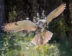 Landing Flare (Jen St. Louis) Tags: simcoe ontario canada greathornedowl owl inflight captive canadianraptorconservancy nikond750 nikon70200mmf28 jenstlouisphotography wwwjenstlouisphotographycom workshop