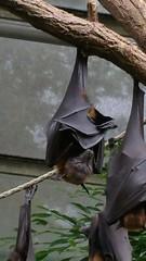 Megabat (crystalseas) Tags: wilhelma pteropus bat flyingfox fruitbat flughund