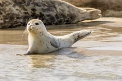 jonge zeehond op de robbenbank (ameland) (JnHkstr) Tags: ameland fotoclub gespot zeehond seal wadden robbenbank wl35 brakzand