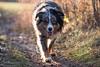 Tally the Mini Aussie (Matt 23998) Tags: australianshepherd bieyed dog dogpark miniatureaustralianshepherd minieaussie talisker