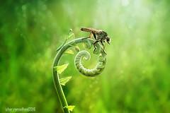 Best friend, robber and mantis (Izhar ramadhan) Tags: macro macroinserct robber bokeh mantis art indonesia sambas kalbar