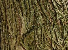 Shiny-Leaved Willow Bark (HorsePunchKid) Tags: brooklynbotanicgarden taxonomy:genus=salix taxonomy:kingdom=plantae taxonomy:phylum=magnoliophyta taxonomy:order=malpighiales taxonomy:family=salicaceae malpighiales plantae salicaceae magnoliophyta salix taxonomy:eolid=32667 taxonomy:common=willow taxonomy:claderoot=plantae clade:plantae=tracheophyta clade:tracheophyta=magnoliopsida clade:magnoliopsida=malpighiales clade:malpighiales=salicaceae clade:salicaceae=salix