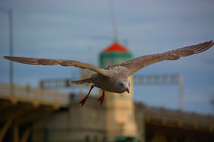 On Final Approach (swong95765) Tags: gull seagull bird flying approach beautiful soar glide bokeh animal wings