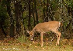 Baby buck (Lindell Dillon) Tags: buck whitetail spike deer wildlife nature oklahoma lindelldillon