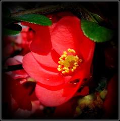 Natural Wonder (dimaruss34) Tags: newyork brooklyn dmitriyfomenko image flower camellia