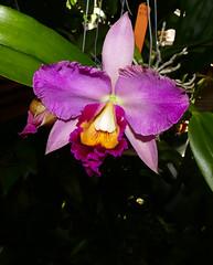 Rhyncholaeliocattleya Hawaiian Charisma 'Hawaii' 1-2 hybrid orchid 9-16 (nolehace) Tags: rhyncholaeliocattleya hawaiian charisma hawaii 12 hybrid orchid 916 summer nolehace sanfrancisco fz1000 flower plant bloom