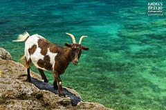 Paseando al filo del abismo (Andres Breijo http://andresbreijo.com) Tags: cabra animal naturaleza nature mar sea acantilado formentera baleares balearic