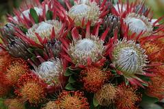 DSC03794 (oliveplum) Tags: tribaltempofloraldisplay gardensbythebay flowerdome flickrtravelaward olympusomsystemzuikomcautot12f85mm sony bokeh protea africanflower singapore