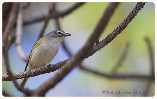 Blue-headed Vireo (Vireo solitarius) BHVI… Formerly Known as Solitary Vireo. (Best seen large)