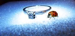 Macro Mondays: Beatles/Beetles  explored 11/29/2016 (Hayseed52) Tags: diamonds lady bug beetle beatles song ring sparkle ladybug macrom macromondays beatlesbeetles
