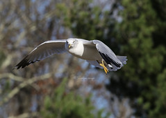 IMG_6322 (Sweetpea images by Karenlee) Tags: seagulls birds inflight wildlife animals nature outdoors explore birdsinflight