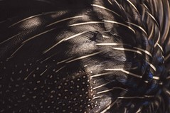 Feather abstract (Syahrel Azha Hashim) Tags: dof bokeh nikon animalfeeding getaway abstract handheld colorimage 2016 shallow malaysia light simple naturallight 55200mm colorful details feathers travel syahrel bird patterns colors farm d300s nopeople animal detail