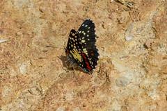 Chlosyne marina (K. Zyskowski and Y. Bereshpolova) Tags: mexico butterfly nymphalidae nymphalinae chlosyne marina