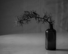 Minimalisme saisonal (Seasonal minimalism) (l'imagerie potique) Tags: limageriepotique poeticimagery minimalism stilllife naturemorte evergreenbranch branchedesapin