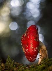 Amanita muscaria (HelmiGloor) Tags: fliegenpilz pilz wald mushroom forest