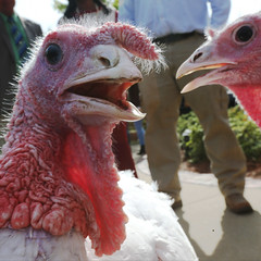 11-09-2016 69th Annual Turkey Pardoning