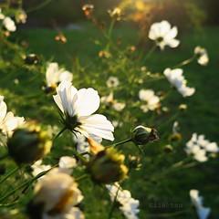 Draisonnables (nathaliedunaigre) Tags: flowers jardinvagabond aixlesbains garden cosmos plants lumire light