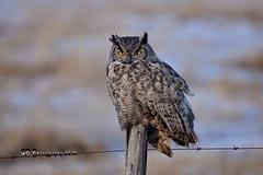 Great Horned Owl DSC_1854 (Ron Kube Photography) Tags: owl owls bird birds nature fauna ornithology raptor birdofprey alberta canada greathornedowl greathorned southernalberta nikon nikond7200 d7200 ronaldok bubovirginianus globalbirdtrekkers ronkubephotography