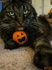 Boo (danielledufour430) Tags: feline furry eyes whiskers paw toy pumpkin halloween seasonal festive cute fluffy sonya6000