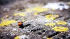 Loveliness (Uncle Berty) Tags: ladybird loveliness collective noun tomb stone graveyard grave yard brill bucks buckinghamshire village small moss lichen yellow textured texture layer vignette single