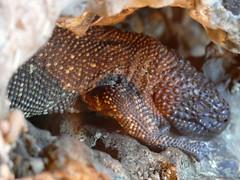 Lagarto de cuentas escorpion. Zoo de la Casa de Campo (Madrid) (Juan Alcor) Tags: lagarto cuentas escorpion madrid zoo casadecampo naturalezamisteriosa