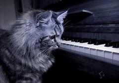 Considering Things (pianocats16, miau...) Tags: cat kitty beautiful cute fluffy piano keys bw