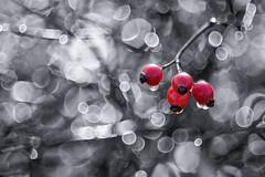 Let's have a party! (Karsten Gieselmann) Tags: bokeh czjpancolar50mmf18 colorkey dof em5markii farbe feldweidewiese gegenlicht hagebutte herbst jahreszeiten licht microfourthirds olympus rot schwarz schärfentiefe strauch sträucher tau vintagelens weis wetter autumn black bush bushes color dew fall kgiesel lawn light m43 meadow mft red seasons weather white
