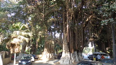 Tree on Gezira Island (Rckr88) Tags: treeongeziraisland trees greenery green nature tree gezira island cairo egypt africa travel road roads streets street