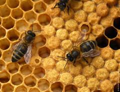 Faune fontenaysienne n°4 (Fontenay-sous-Bois - Officiel) Tags: fontenay fontenaysousbois regionparisienne valdemarne iledefrance 94 94120 miel bees honey ruche nature faune insecte