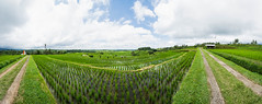 Arrozales de Jatiluwith (fns-k) Tags: agricultura arroz asia bali campo campos cereales espaa europa gusto indonesia islasbaleares mallorca panormica sentidos